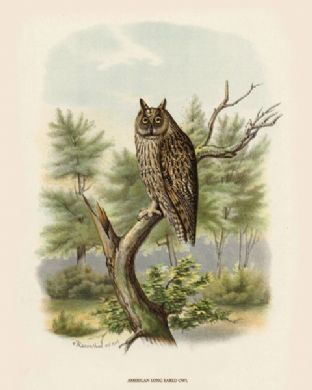 Owl, American Long Eared by O V Riesenthal